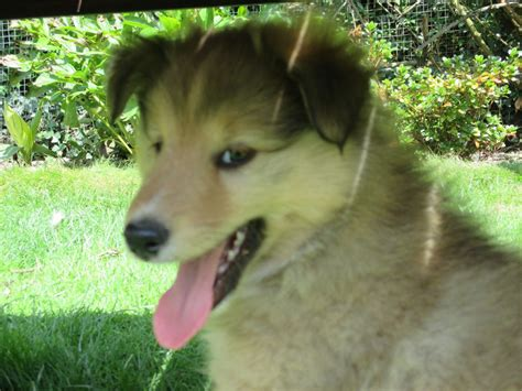 sheepdog puppies for sale shetland sheepdog puppies for sale