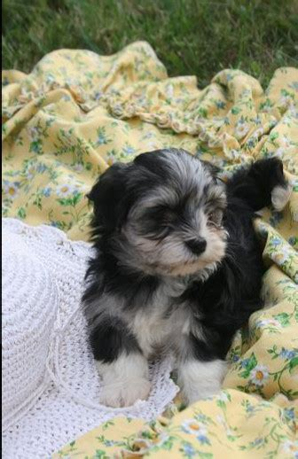 havanese puppies in nc havanese on parade click here for more pictures kase havanese