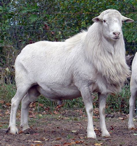 Types Of Hair Sheep by St Croix Sheep St Croix Sheep Breed