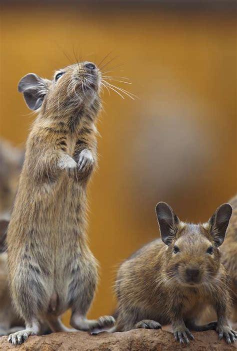 degu facts animal facts encyclopedia
