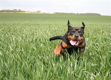rottweiler favorite food best 25 rottweiler pictures ideas on rottweiler names rottweiler and