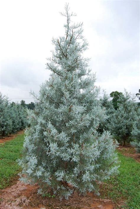 blue arizona cypress trees for sale garden goods direct