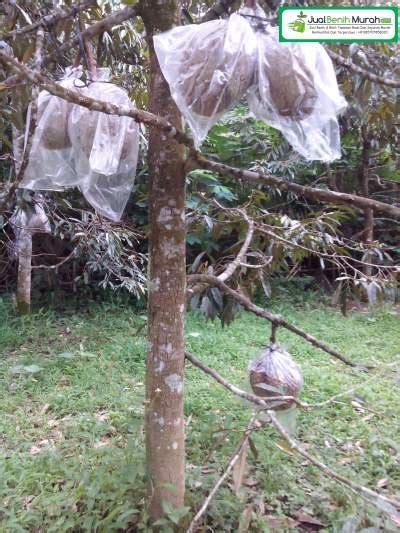 Bibit Timun Suri Unggul tanaman durian montong jualbenihmurah