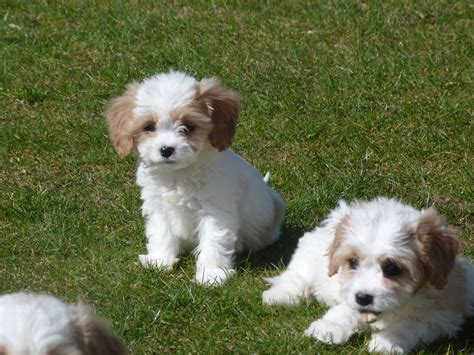 cavapoo puppies cavapoo puppy car interior design