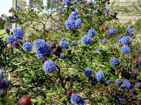 pianta lilla in vaso lill 224 della california ceanothus ceanothus piante da