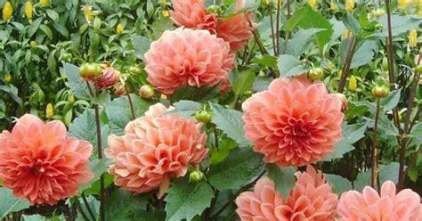 gambar bunga  indah langka mahal  arti makna
