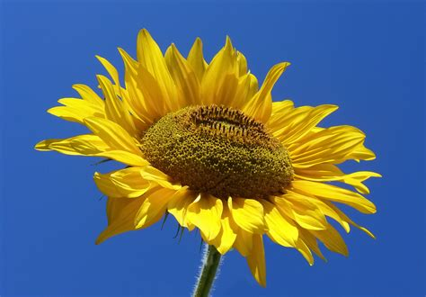imagenes jpg file sunflower from silesia2 jpg wikimedia commons