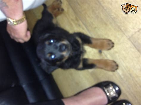 rottweiler for sale glasgow rottweiler puppies for sale glasgow lanarkshire pets4homes
