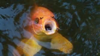 Are koi fish edible reference com