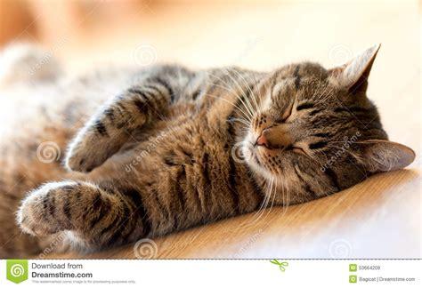 Sleeping On Floor For Back by Tabby Cat Sleeping On The Floor Lying On Back Stock