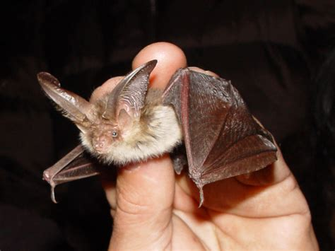 identifying bats www wildaboutdevon co uk