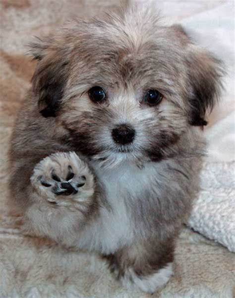 havanese oregon 25 best ideas about havanese puppies on puppy breeds cockapoo