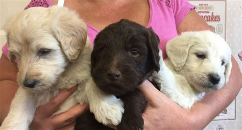 labradoodles puppies for sale hshire gorgeous labradoodle puppies congleton cheshire