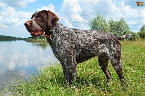 Do Haired Dogs Shed by Some Popular Wirehaired Breeds Pets4homes