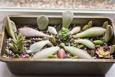 propagating succulents from leaves succulents and
