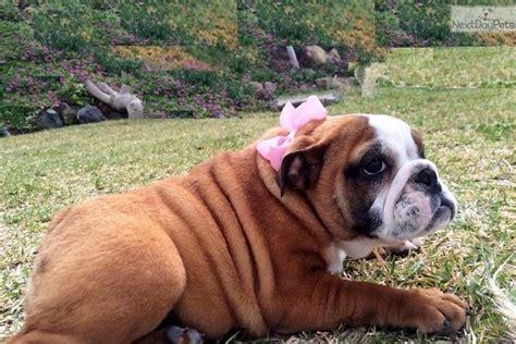 bulldog puppies san diego akc bulldog puppy san diego in san diego breeds picture