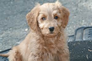 mini goldendoodles ebay pet puppies viewing gallery newhairstylesformen2014