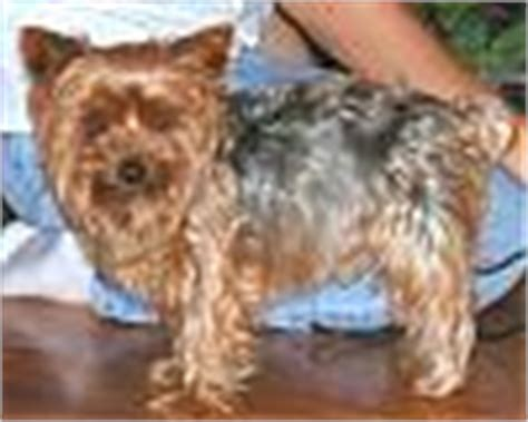 yorkie curly hair a curly haired yorkie page 3 yorkietalk forums terrier community