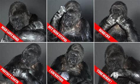 Azka Koko Daily 02 shows new year message from koko the talking gorilla daily mail