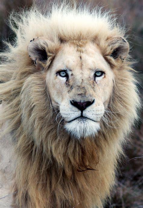wallpaper tumblr lion albino lions tumblr