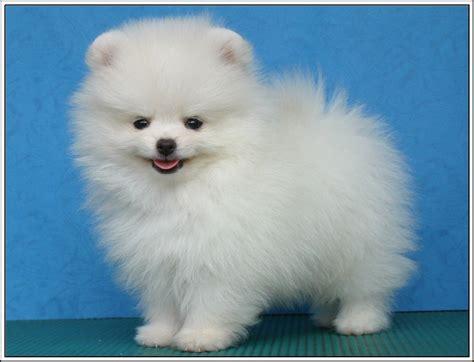 buy pomeranian puppy uk 4pack dogs pomeranian puppies puppy greeting stationery notecards envelopes 163 4
