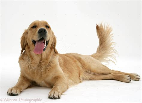 golden retriever panting golden retriever lying panting and wagging photo wp14123