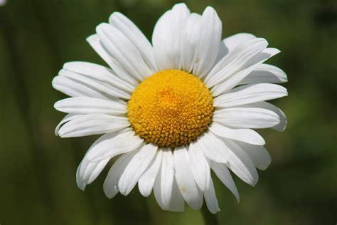 margherita fiori foto gratis margherita fiore primavera immagine