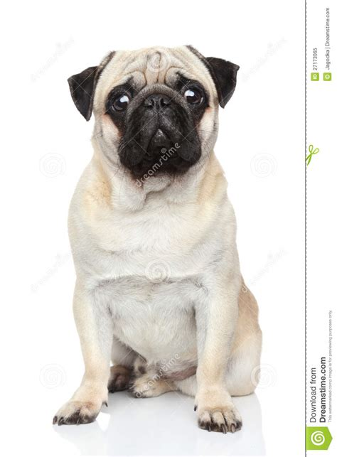 pug white background pug on white background stock image image 27173065
