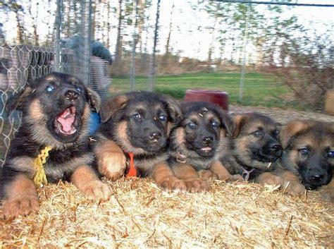 7 week german shepherd puppy guardian shepherds superior german shepherd puppies for sale