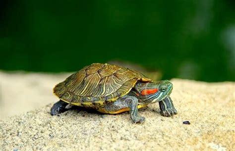 imagenes de libres y tortugas que comen las tortugas donde viven como nacen