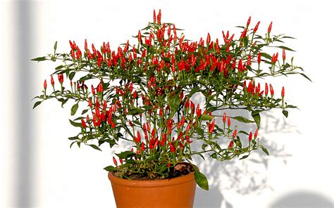 goji beere pflanze kaufen 66 mini chili bonsai chili pflanze capsicum annuum v