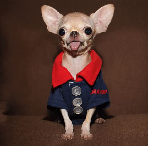 how to a chihuahua to be a therapy this chihuahua isn t afraid of horses