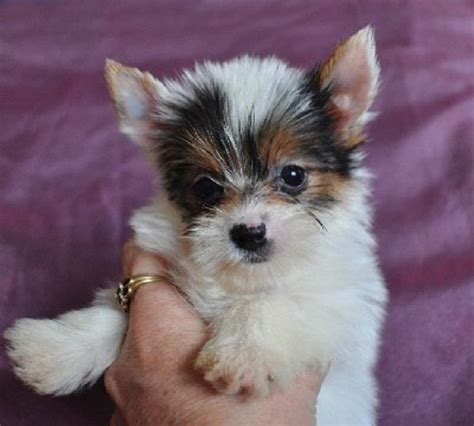 looking for yorkie puppies for sale 1000 ideas about puppies for sale on puppies for sale mini dogs and