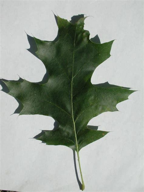Index Of Fieldbio Survival Images Oak Black Oak Black White Oak Leaf