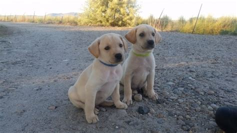 pudelpointer puppies for sale 2017 willow x yellow lab puppies 7 weeks labrador retrievers in emmett idaho