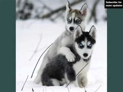 husky type dogs types of husky dogs dogs breed picture ideas collection