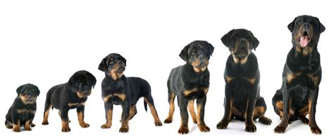 average litter size for rottweilers europetnet rottweiler