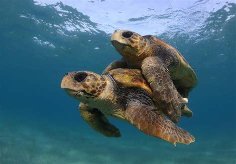 Turtle Sea warming temperatures threaten sea turtles