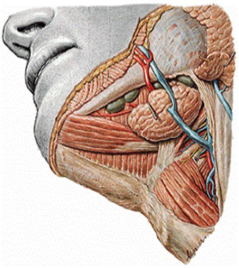 glandula submaxilar anatomia el blog neuroanatomico del dr mime anatomia cabeza y