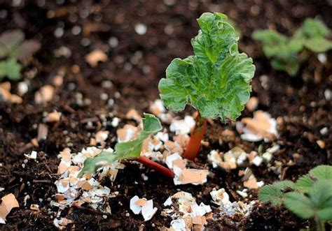 Eggshells In Garden by How To Use Eggshells In Your Garden