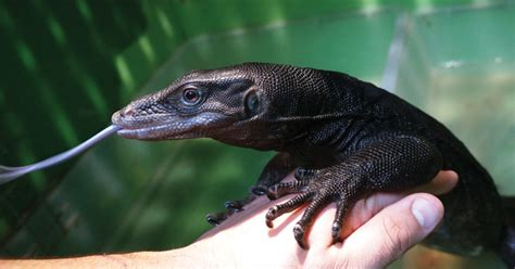 asian water monitor breeding  care tips   water