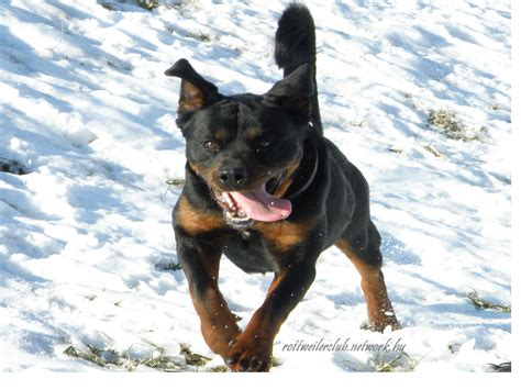 rottweiler with vitiligo rottweiler photos pictures rottweilers page 19 breeds picture