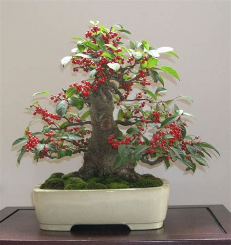 Cabernet Grapevine Bonsai It Or It by Japanese Ilex Serrata With Moss Bonsai Trees