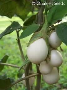 ornamental wonder easter egg plant seeds solanum