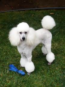pictures of poodle haircuts huxtable the poodle toy poodle blog parti poodle