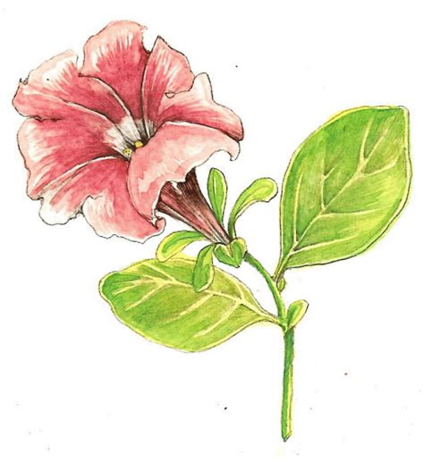 botanical drawing in color 0823007065 paintaholic tutorial botanical drawing with pencil and watercolor