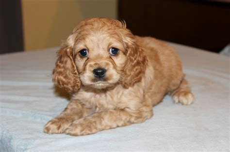 puppy breeders in nj adorable cockapoo puppies for sale in nj ny de pa va ma orchards
