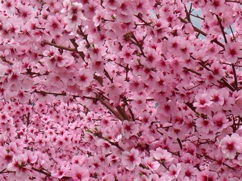 fiori pesco fiori rosa fiori di pesco home garden store