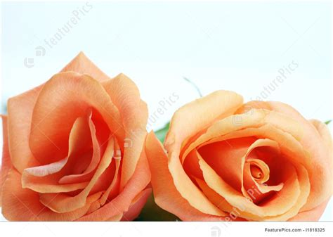 coral colored image of coral colored roses