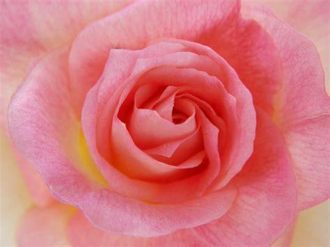 princess diana rose lady diana rose pretty pinterest